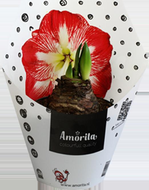 amaryllis amorita